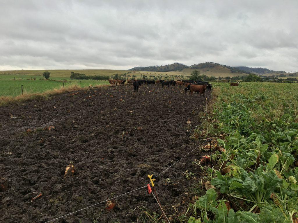 Wypas kwaterunkowy bydła