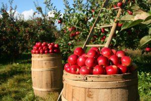 Pommes de Pologne.